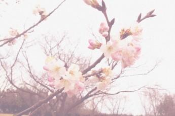 桜画像2(小)